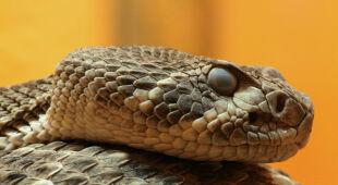 Grzechotniki są jednymi z najbardziej niebezpiecznych węży