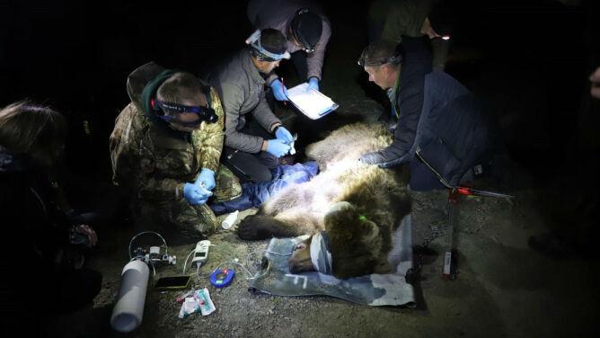 Niedźwiedzica Ema wyrządziła w Czechach duże szkody. Polscy przyrodnicy pomogli ją schwytać